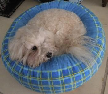 Small dog laying down on a blue round dog bed