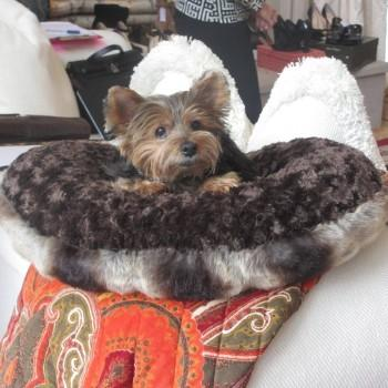 Yorkie sitting in a small brown dog bed