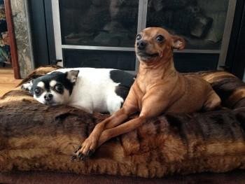 Chihuahua Dog Bed
